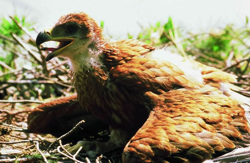 Águila sin plumas
