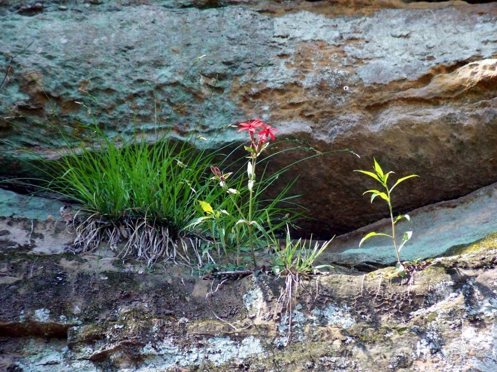 Flor en acantilado