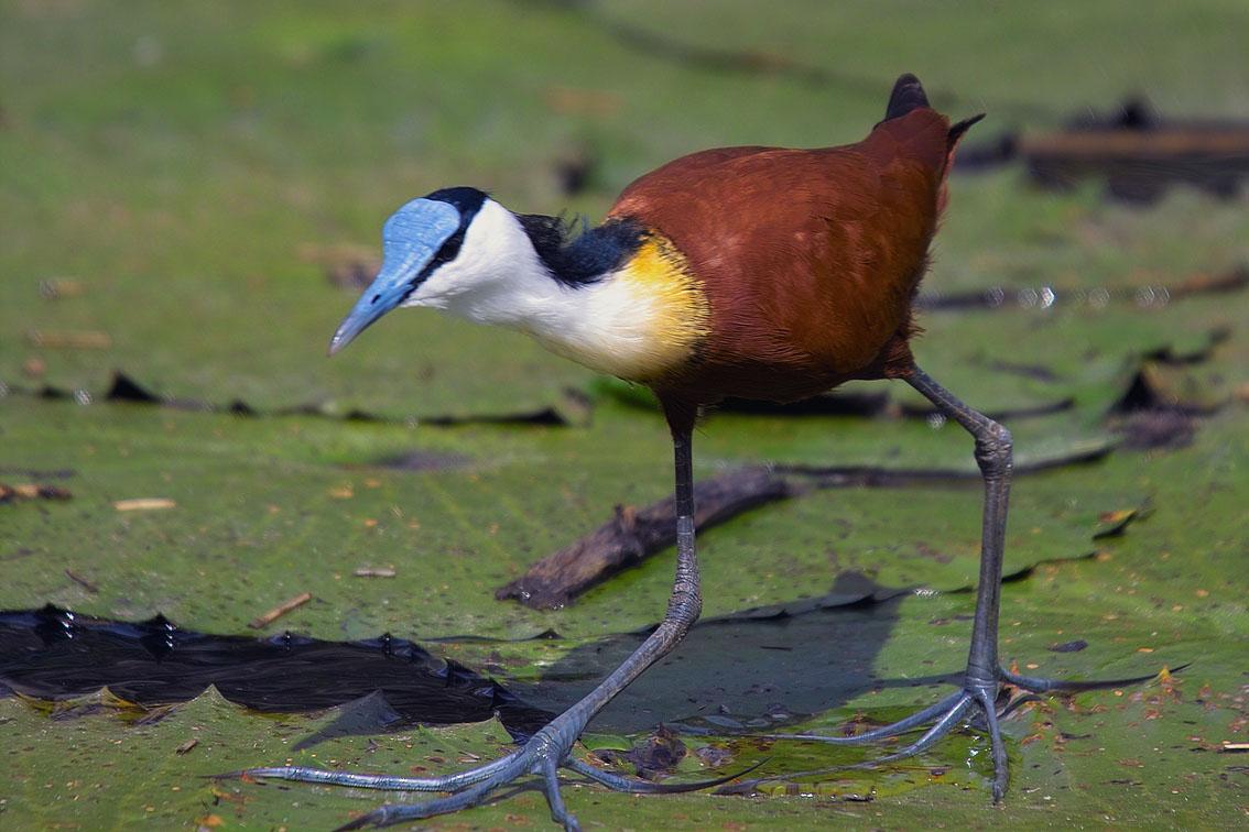 El ave Jacana