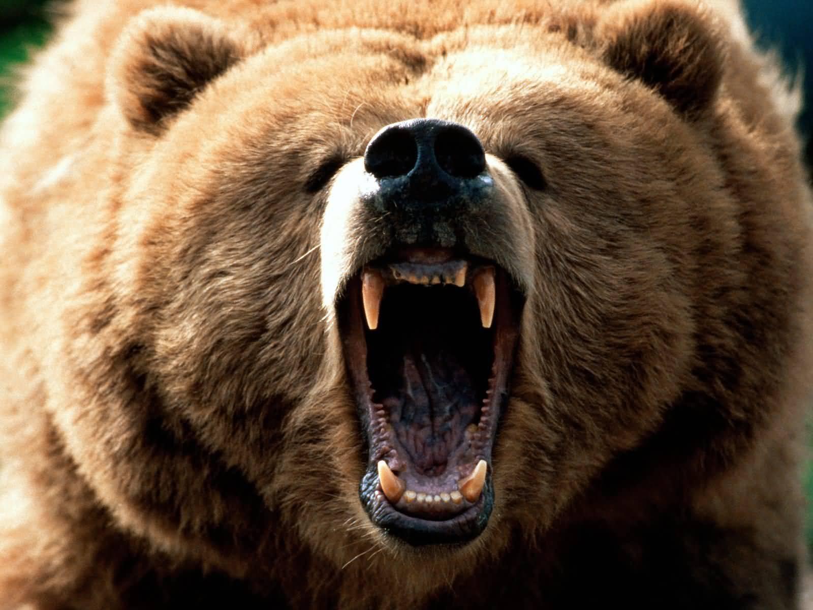 ¡Cuidado con los osos!