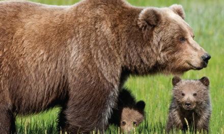 ¡Los osos son peligrosos!