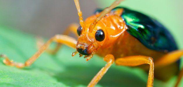 Escarabajo Bombardero: El Insecto Arsenal