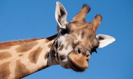 Vida como jirafa