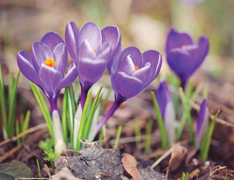 ¿Quién le dice al azafrán que es primavera?
