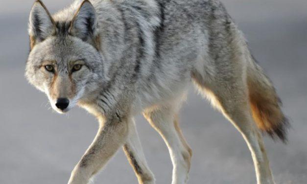 Los coyotes bienvenidos u odiados