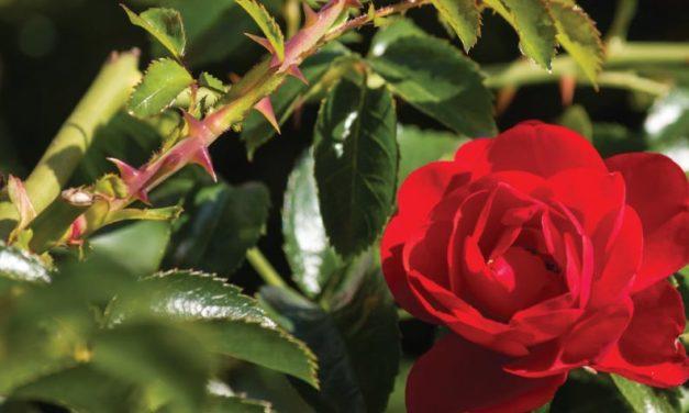 ¿Espinas y rosas?