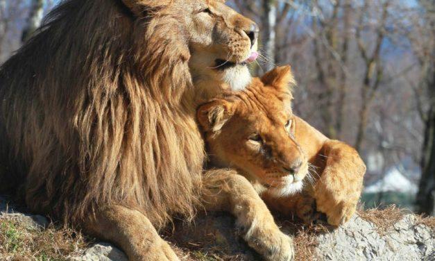 Detrás del león