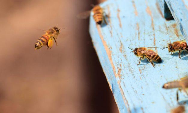 Como abejas guías