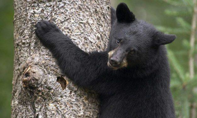 ¿Cómo un oso miedoso?