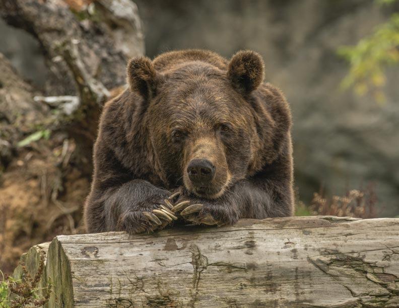 Árboles contra osos